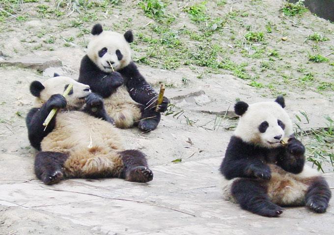 reserve panda bifengxia