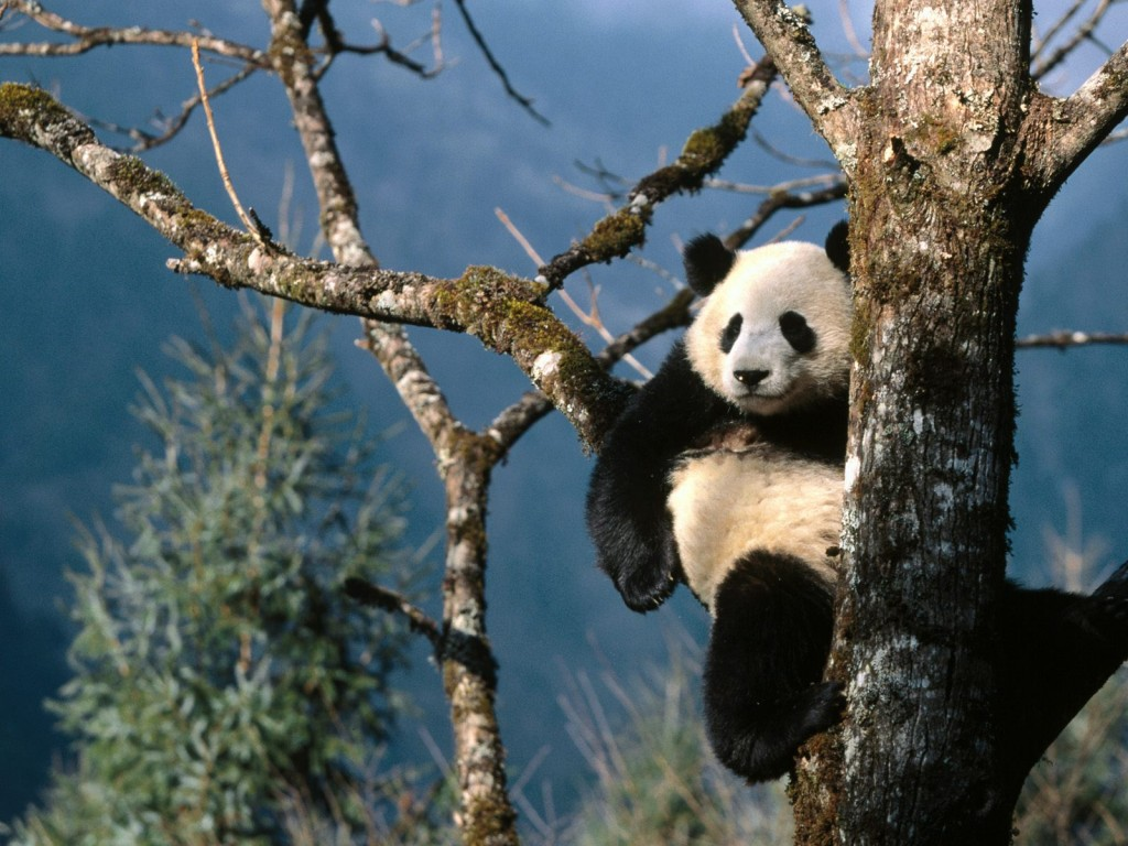 reserve panda chengdu